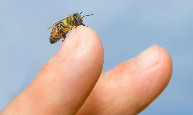 Las picaduras de abejas y avispas, provocadoras de alergias patológicas